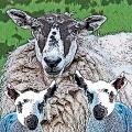 Sheepish 1_front