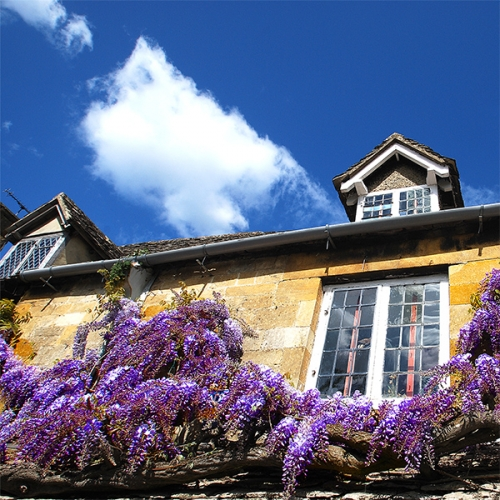 Wisteria 2_front