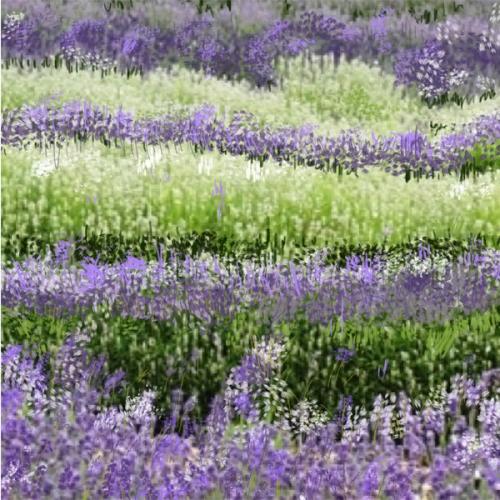 Lavender-Web