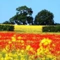 TG-Poppies---web