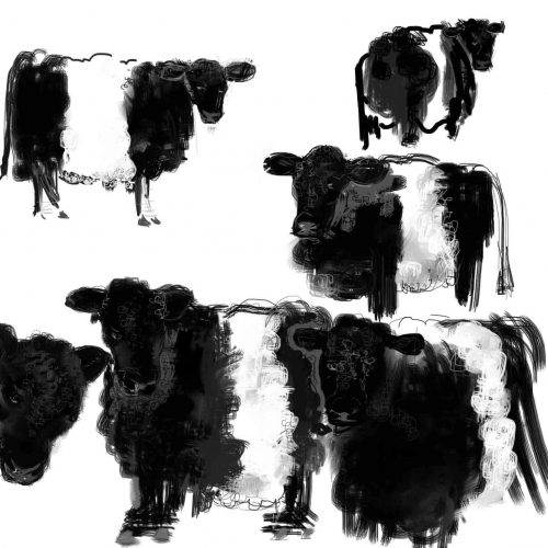 Belted-Galloways